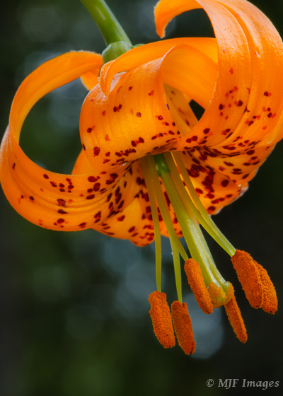 A summer flower around these parts that is particularly eye-catching, the tiger lily.