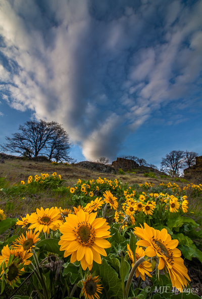 Speaking of the eastern Gorge, this is its most famous flower, the arrowleaf balsamroot.