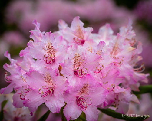 Pink rhododendron bloom in the forests of Mount Hood in Oregon.