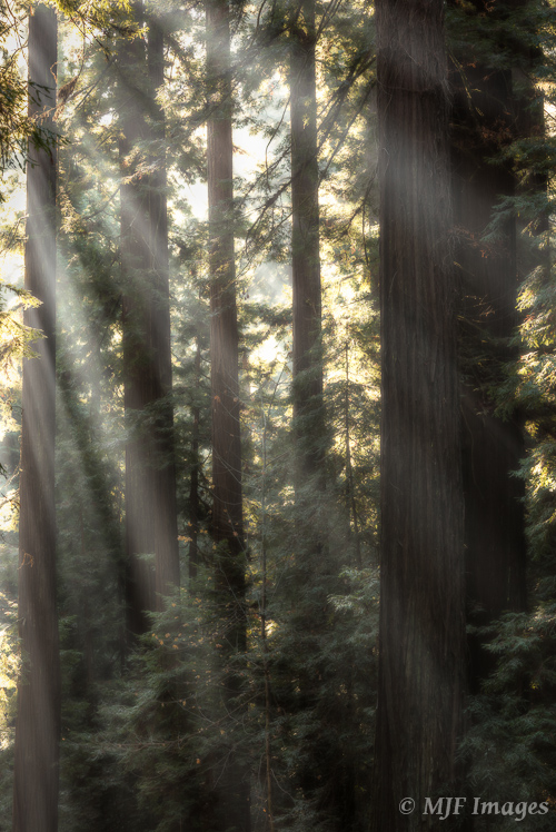 Winter is a great time to catch fog in the redwoods of northern California.