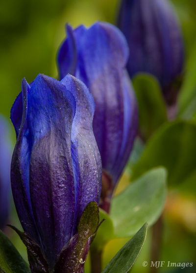 One of my favorite flowers of the subalpine zone in the Cascades is blue gentian, here at Mount Rainier, Washington.