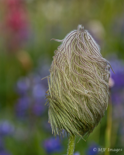 "Not all flowers are colorful.  This one is the pasqueflower, which blooms then immediately goes to a ""wild hair"" seed head."