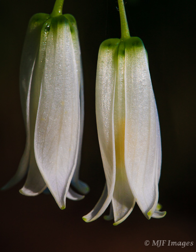 The deep forest of the Pacific Northwest hides wonders like these fairy bells, lit by a shaft of sunlight.