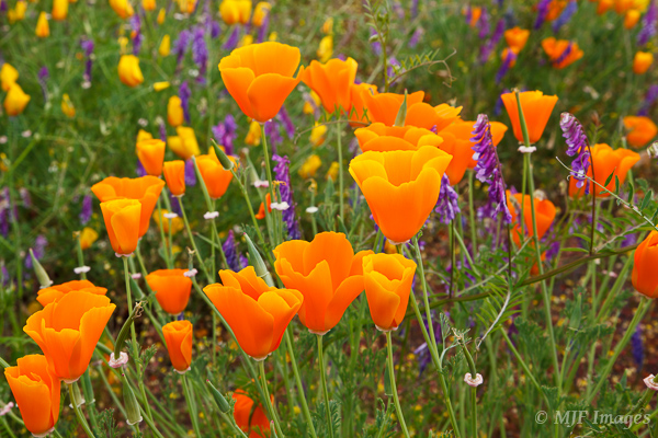 A welcome export to Oregon, the California poppy, likes roadsides.