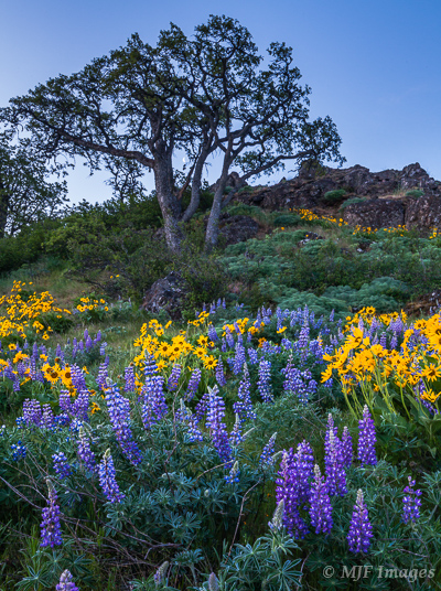 Wonderful lupine and balsamroot decorate this hillside in the eastern Columbia Gorge of Oregon.  Note the moon peaking through.