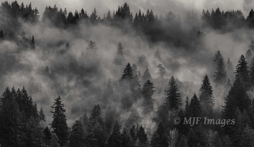 An Oregon forest strains the clouds.