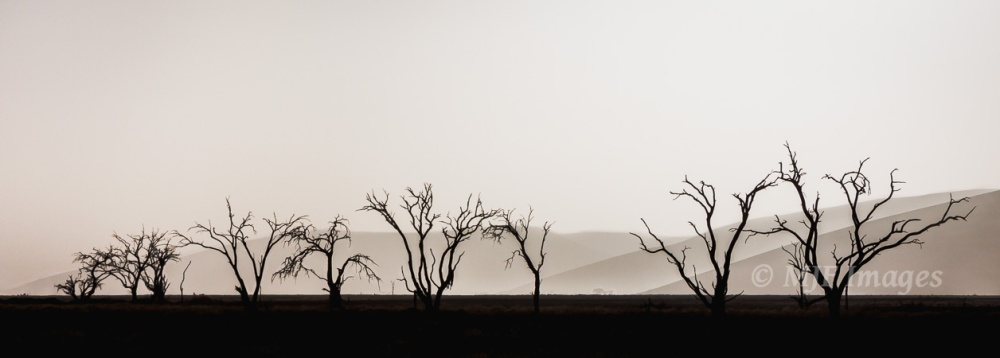Dead camel thorn trees trace a former watercourse in the Namib Desert near Sesriem.