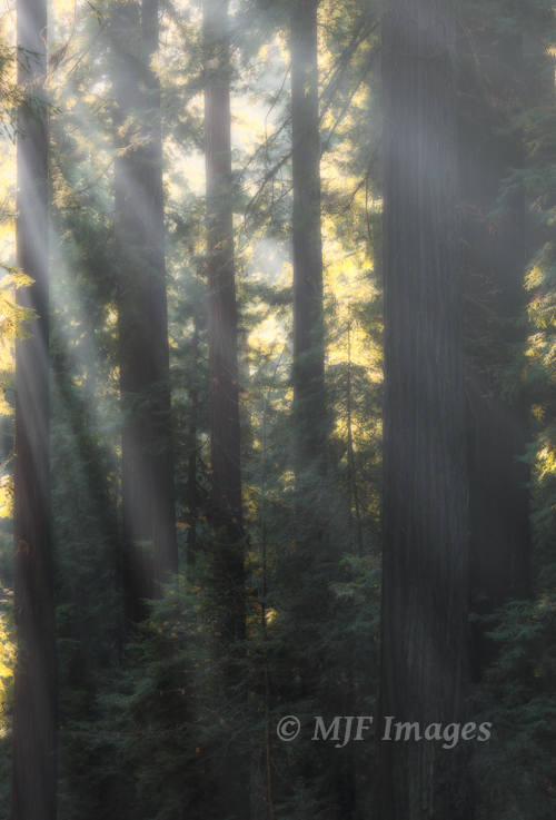Sun vs. fog in a redwood forest, northern California.