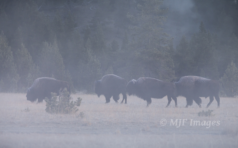 The thermal areas of Yellowstone on cold mornings are comparatively warm, misty magnets for buffalo.