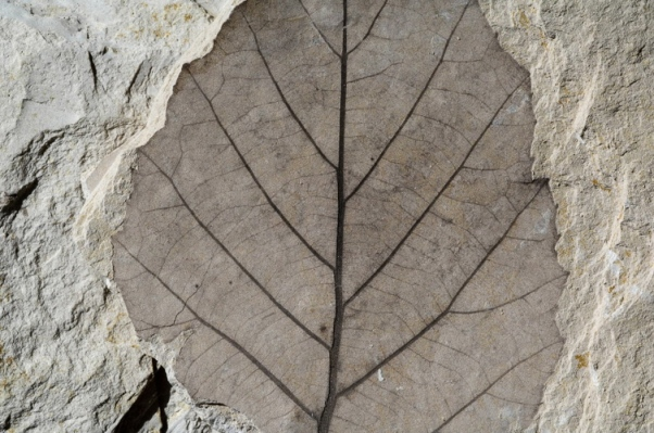 A fossil leaf is perfectly preserved in lake-bed sediments rich in volcanic ash.