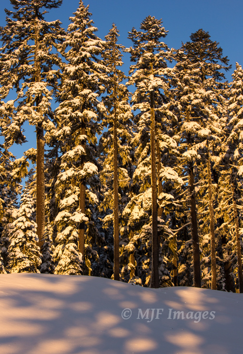 Morning sun hits fir trees on Mt. Hood, which got a late-season snowfall earlier this week.