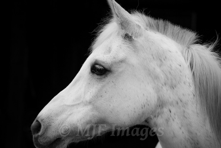 Who needs shallow depth of field when you place your subject at the entrance to a relatively dim barn.  This is Gold Dancer, apple of my eye for 8 happy years, who I just had to sell last week.