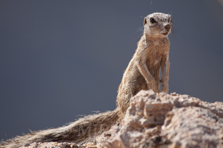 The Cape ground squirrel lives in rocky areas of Namibia and South Africa.