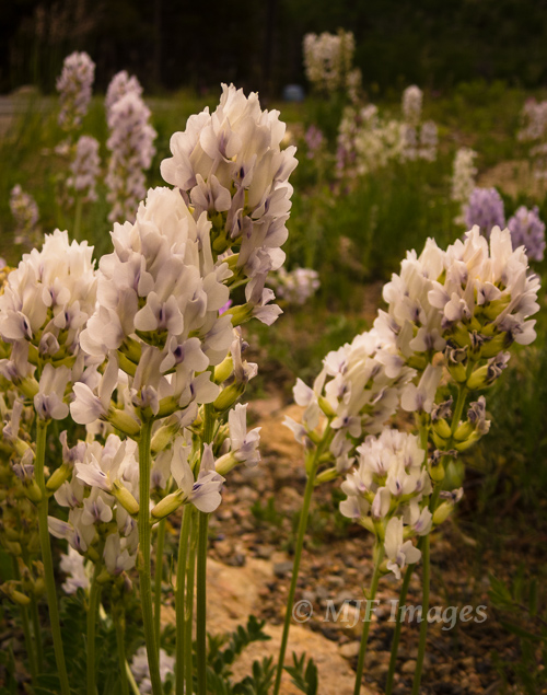 A beautiful pale flower I don't know - like a white lupine - encountered in a meadow in Rocky Mountain National Park.