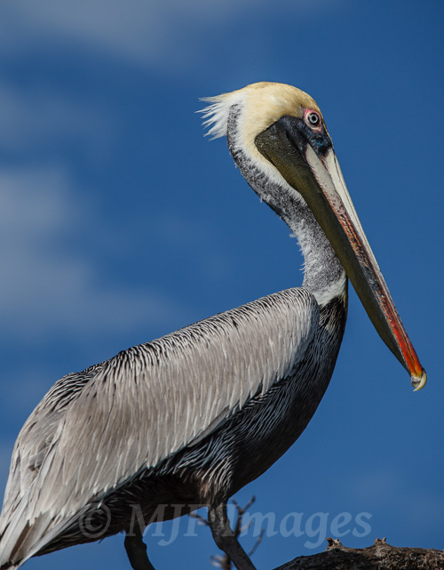 With this brown pelican in Sian Ka'an, Yucatan, I didn't need to go shallow with depth of field because the sky is featureless and would not distract.