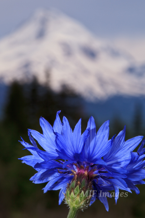 Mount Hood Oregon and a blooming blue dick, and no way to possibly put them both in focus (without blending 2 shots), so I played around with different depths of field and selected this one.