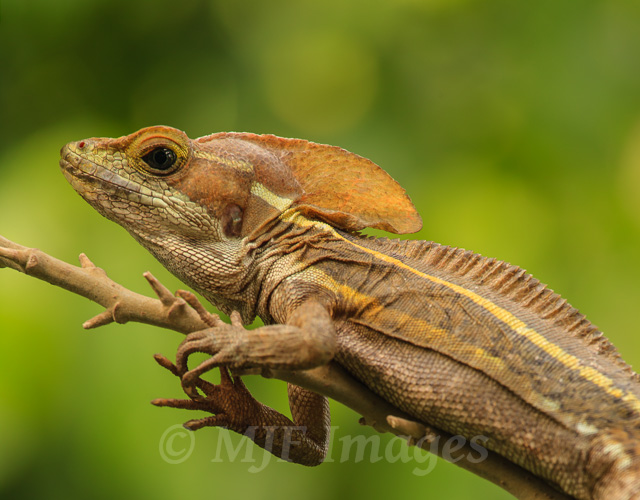 In the northern Guatemala forest, near the ruins of Tikal, a young brown basilisk posed for me while I worked out a good angle for the background depth of field.  200 mm., 1/60 sec. @ f/8, ISO 320.