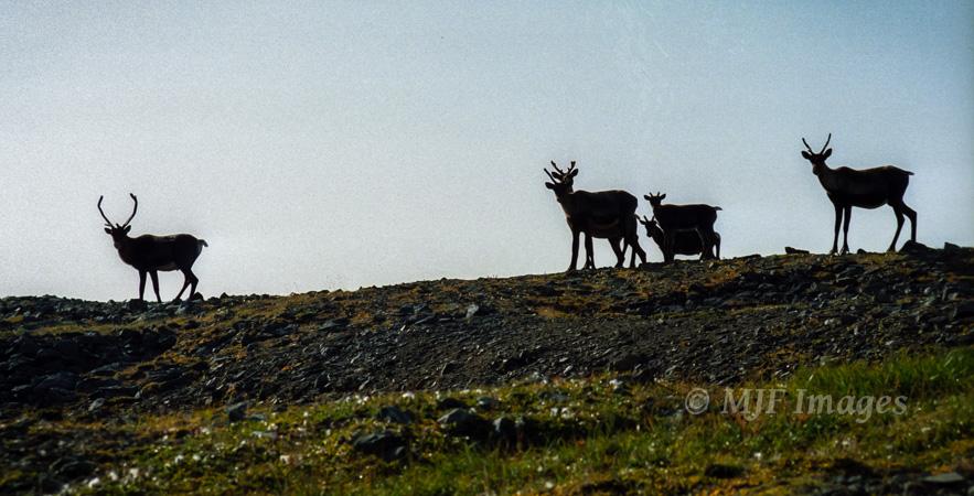 Caribou in the Brooks Range.