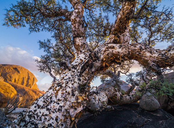 The elephant tree of Mexico's Baja Peninsula.  Though it may not look like it, this is definitely a high dynamic range situation.  Copyright MJF Images.