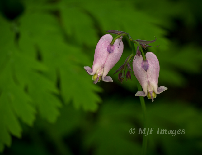 Pink bleeding hearts bloom in the forests of the Pacific Northwest during spring.