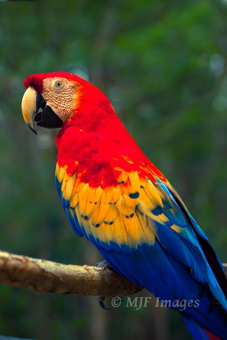 Scarlet Macaw, Honduras, digital.