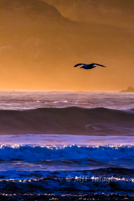 Gliding gull on the Oregon Coast, digital.