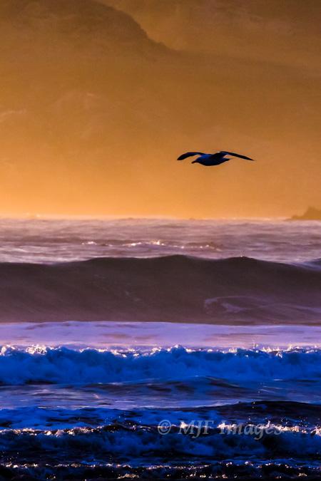 Gliding gull on the Oregon Coast, digital.