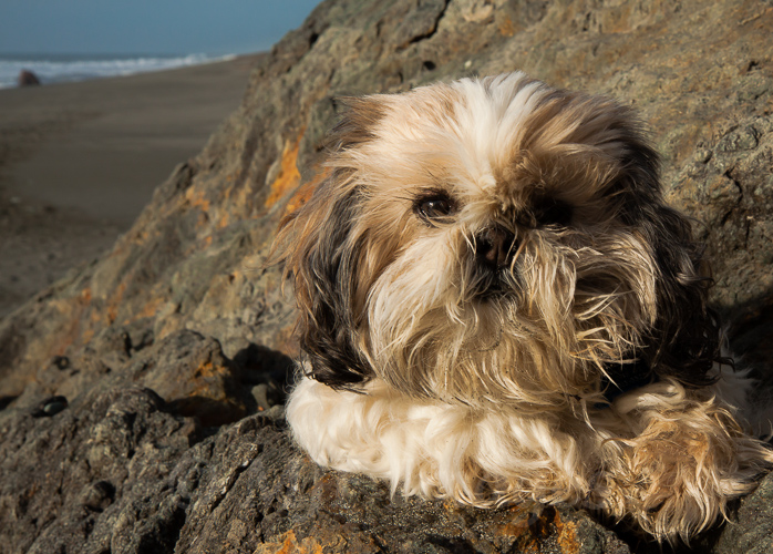 Charl the shih tsu (pronounced shee tsoo) at his favorite place, the Oregon Coast.