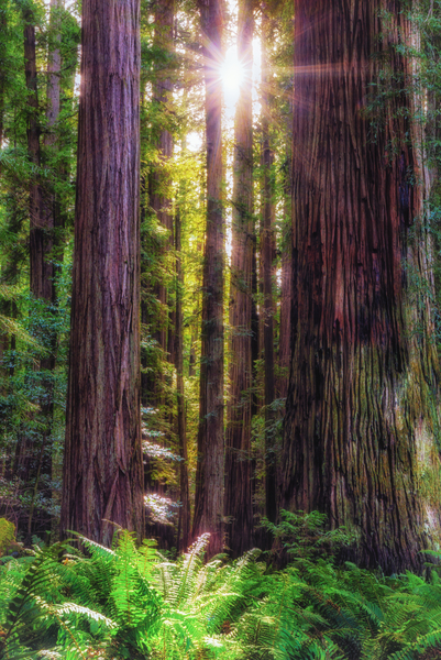 The Redwoods, California:  This is a fairly high dynamic range situation not because of the sun but because you need to retain detail in the bright spot in the ferns.  Copyright MJF Images.  Please click on image.