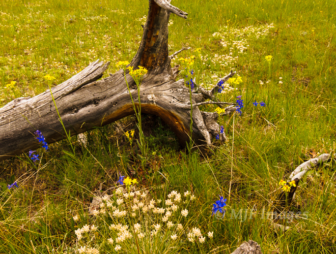 Flowery grassy meadows are found everywhere at Rocky Mountain National Park in Colorado.