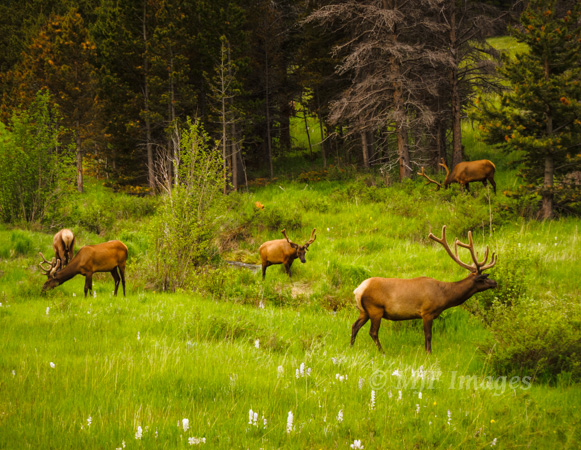 Elk browse in one of the park's many grassy meadows.