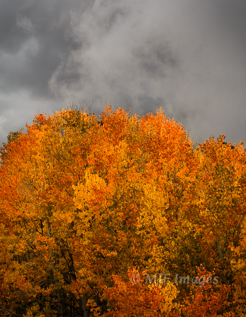 Storm clouds gather and the quaking aspen aren't bothered at all: San Juan Mountains, Colorado.