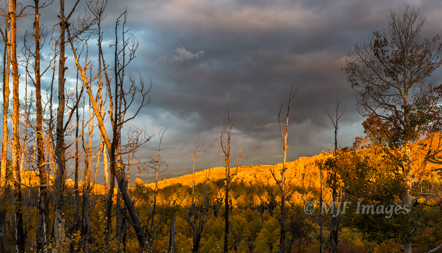 The sun sets on golden aspen in leaf as viewed from atop a ridge of burned trees.