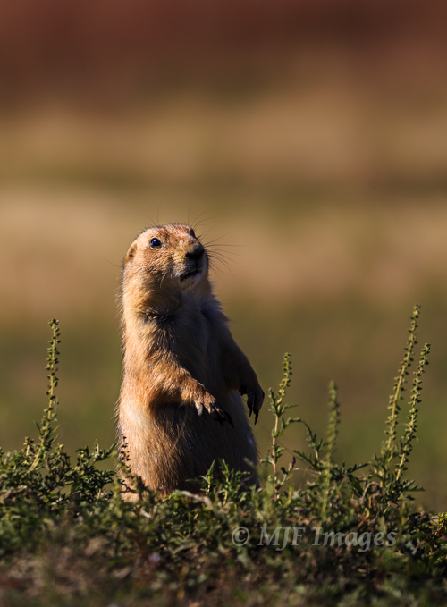 A prairie dog keeps watch   over his town on the Oklahoma prairie.