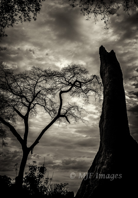 A termite tower in Botswana's Okavango Delta takes on a sinister aspect next to an equally spooky looking acacia tree.