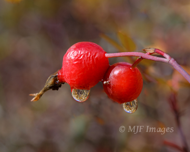 For some reason I really love rosehips.