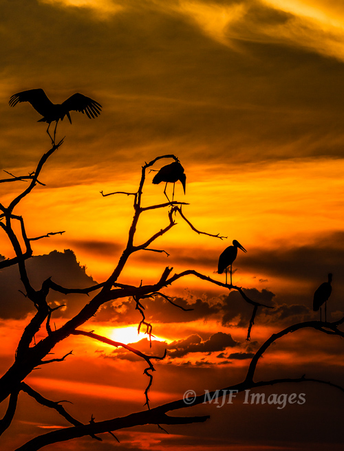 The only shot like this I got in Africa, these scavenging Maribou storks are perched above an elephant carcass at sunset.  Don't worry, the elephant was not the victim of poachers in this case.