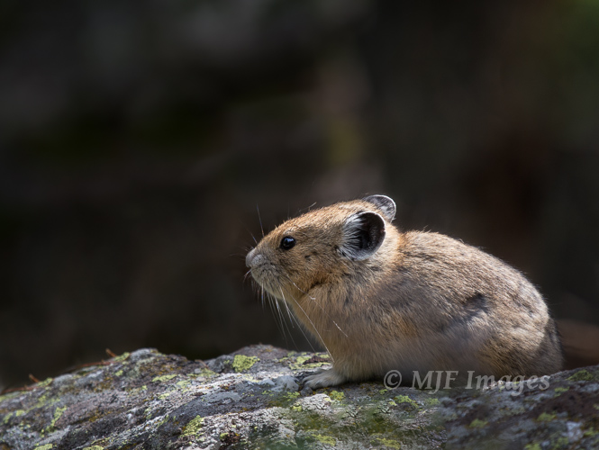 Two wildlife shots are pretty rare for me in one post.  This is one of my favorite little animals in the world, the American pika.