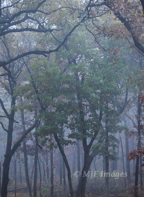 Foggy forest early one recent morning in the Ozarks of Arkansas.