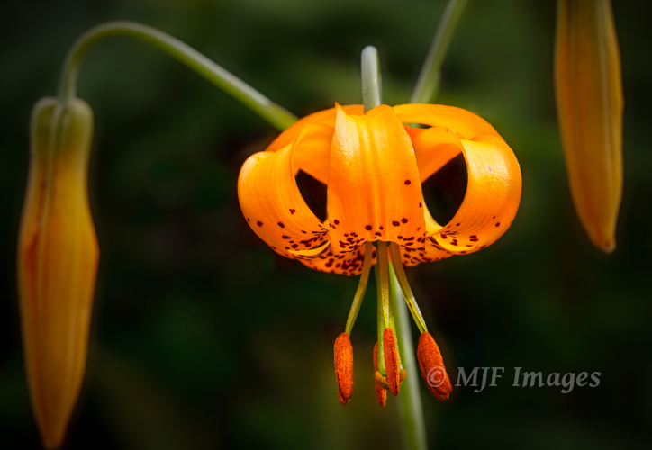 One of my favorite flowers of the Pacific Northwest, the tiger lily, with its characteristic curled petals.