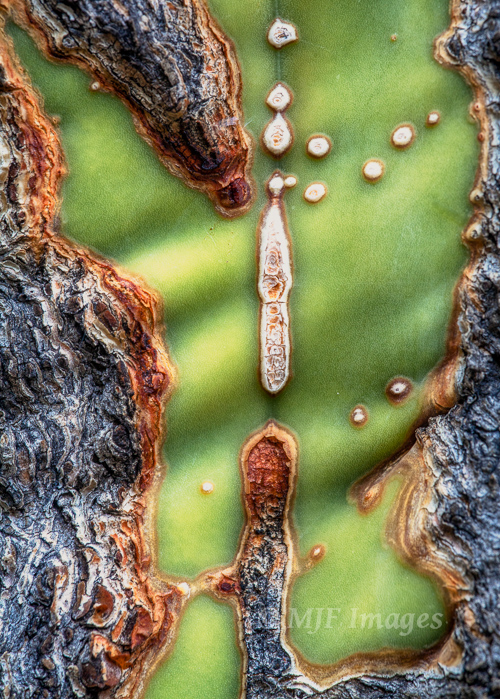 In the desert of the Baja Peninsula, cloudy weather made it good for stills and close-ups like this shot of the wrinkled surface of a cardon cactus.
