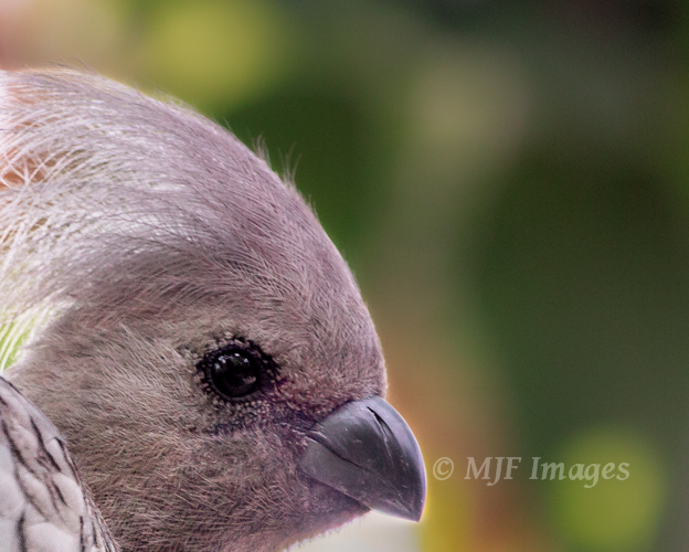 "While rambling southern Africa, the call of the ""go away"" bird might make you feel just a bit unwelcome."