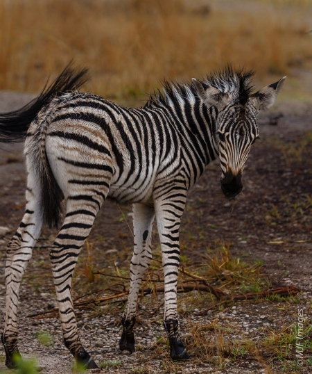 A young zebra glances back at me as his mom  uses her tail to brush flies away, Hwange N.P., Zimbabwe