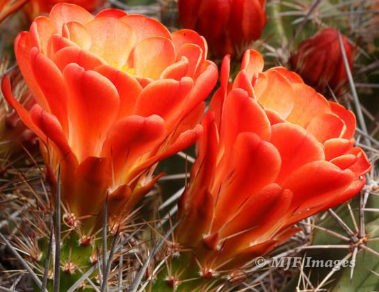 Cactus flowers blooming recently in the desert of southern Utah.