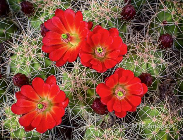 Going light on a hike through a canyon at Natural Bridges, Utah, and a challenging close-up of these hedgehog cactus blooms.