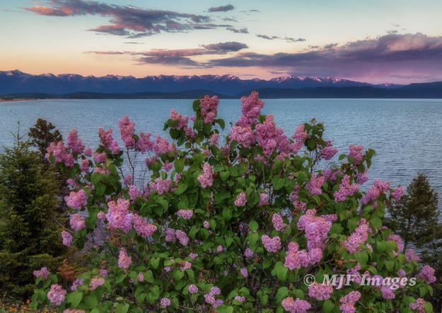 Flowers bloom in springtime from an out-of-the-way spot I found along Flathead Lake, Montana.