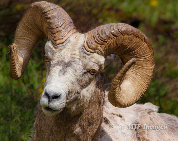 Rocky Mountain bighorn sheep.