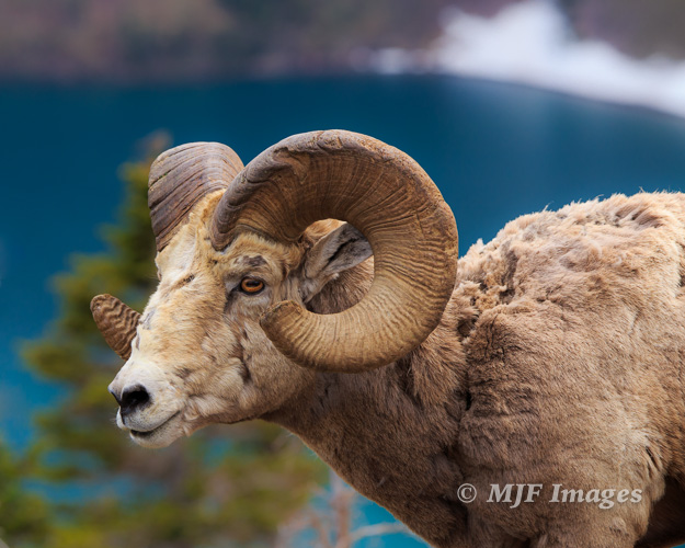 I had a tripod on a recent hike in Glacier National Park.  But didn't use it for this bighorn sheep who was shedding a winter coat.