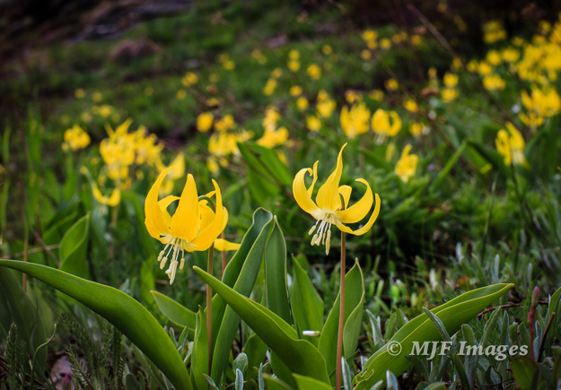 Glacier lilies are the first to bloom after the snow melts in Glacier's subalpine regions.