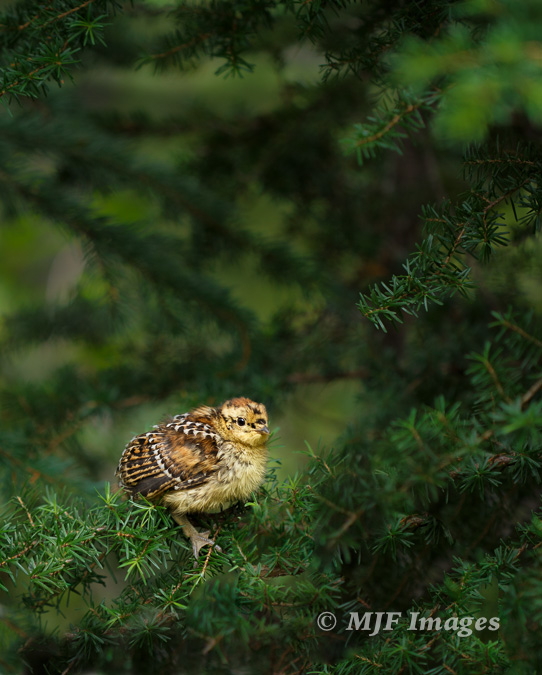A baby grouse in North Cascades National Park, Washington.  Hand-held 100 mm., 1/160 sec. @ f/2.8, ISO 400, cropped.